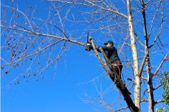 our technician pruning branches